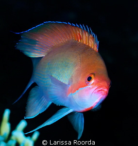 Common Anthias by Larissa Roorda